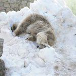 Tallinna-vinkki: Tallinnan eläintarhassa vietetään jääkarhupäivää
