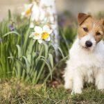Pääsiäisen 4 yleistä vaaraa lemmikeille: suklaa, koristeet, kukat ja ruokajämät