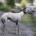 Koiran uittaminen - 6 vinkkiä turvalliseen rantapäivään koiran kanssa