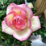 Halusitko ruusunpunaisen elämän?