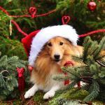 Koiralle vaaralliset jouluherkut