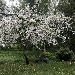 Nurmikko valtoimenaan omenankukan lehtiä